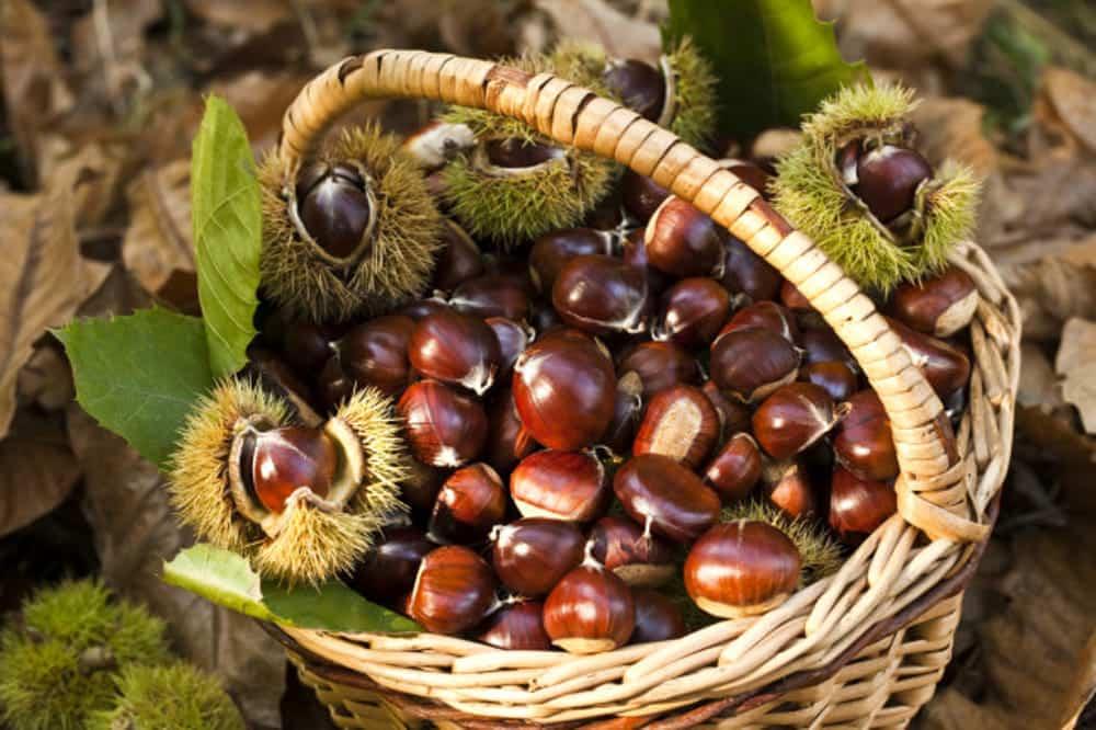 Le castagne pistoiesi, dolce frutto autunnale