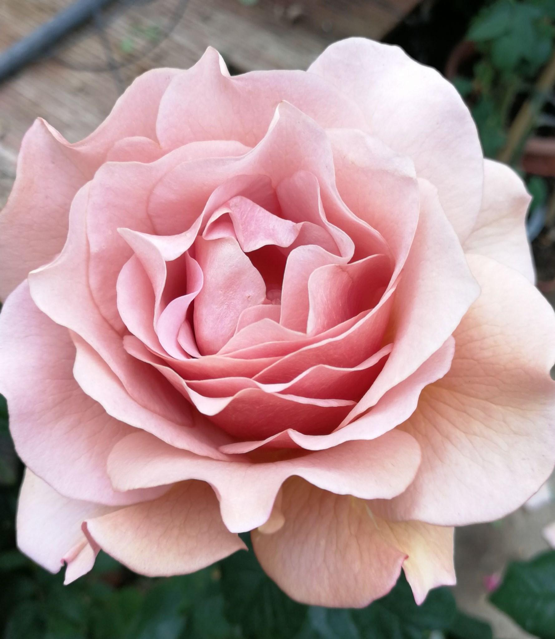 Pistoia in Rosa